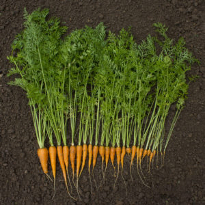 carrots for testing
